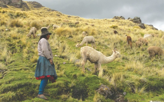 Vergrösserte Ansicht: Woman with lama in the Andes